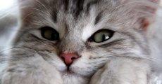 Почему кошки мурлыкают: версии опытных заводчиков