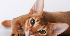 Кошка фараонов – абиссинская порода кошек