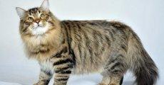 Как приручить сибирского кота? Отнеситесь к нему с уважением, и он обязательно ответит вам тем же