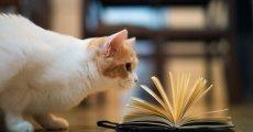 Самые умные породы кошек: перечень пушистых интеллектуалов