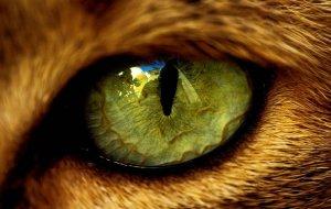У кота слезятся глаза: основные причины конъюнктивита