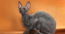Благородные кошки в «королевской» шубке – корниш рексы