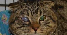 Катаракта у кошек: что надо знать владельцу?