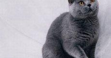 Порода кошек британская короткошерстная: окрасы, характер, цена