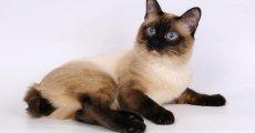 Невероятное сочетание кошачьей внешности с собачьими повадками! Как понять меконгского бобтейла?