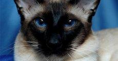 Приобретая балинезийскую кошку, вы заводите надежного друга с милым характером
