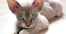 Кошки породы девон рекс – кто они?