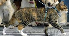 Шлейка и поводок  для кошки – аксессуары для прогулки и поездок