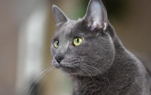 Кошка корат или питомец на удачу