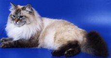 Увидев невскую маскарадную кошку, вы никогда не сделаете выбор в пользу другой породы!