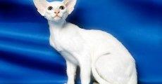 Кошка породы форин вайт – голубоглазая блондинка, в которую невозможно не влюбиться!