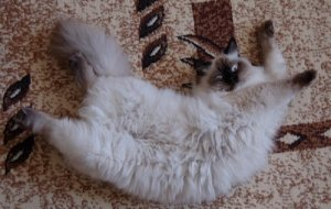 Течка у кошек – особенности полового цикла