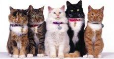 Выбираем ошейник для кошки