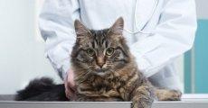 Лечение лишая у кошек: продолжительность терапевтических мероприятий