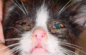 Герпес – основное респираторное заболевание кошек