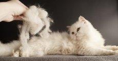 Выпадает шерсть у кошки: почему и что делать?