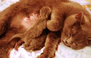 Мастит у кошки: что делать и как лечить?