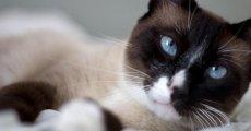 Порода Сноу шу или кошки-белоножки