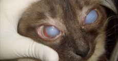 Глаукома у кошек: что необходимо знать владельцу?