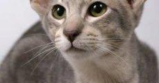 Дружелюбны как собаки и невероятно привязаны к хозяину – ориентальные кошки