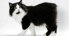 Кот без хвоста с очень миролюбивым характером – кимрик