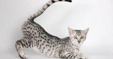 Самая быстрая породистая кошка в мире – египетская мау!