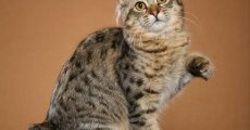 Зачем кошке длинный хвост? Американский бобтейл прекрасен и без него!