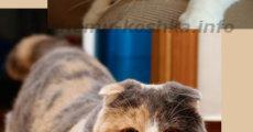 Порода кошек скоттиш фолд (шотландская вислоухая)