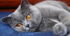 Кровь в моче у кота: признак болезни мочевыделительной системы