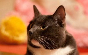 Акне у кошек: причины угревой сыпи