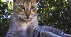 Цейлонская короткошерстная кошка