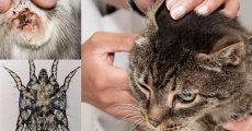 Симптомы и лечение ушного клеща у кошек
