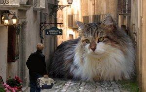 ТОП-5 самых больших пород кошек