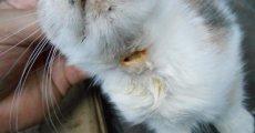 Как отличить свищ у кошки от опухоли и абсцесса