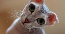 Бесшерстные вислоухие кошки – украинские левкои