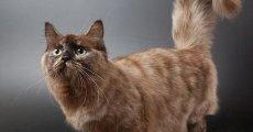 Кошка-такса или манчкин