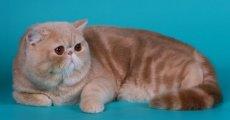 Персидская кошка для ленивых – экзотическая короткошерстная