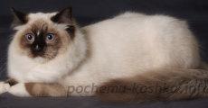 Порода кошек рэгдолл – внешность, уход, цена