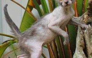 Ликои – кошка с невероятно оригинальной внешностью