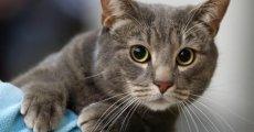 Яркая индивидуальность и доброта – черты присущие европейской короткошерстной кошке