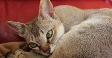 Маленькая азиатка из Сингапура – сингапурская короткошерстная кошка