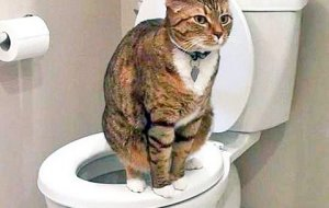 Приучаем кошку к унитазу – самые эффективные методы