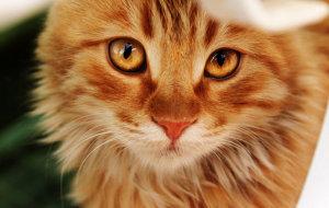 Рыжий кот – всеобщий любимец с особенным нравом