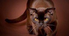Пантера с янтарными глазами – бурманская короткошерстная кошка