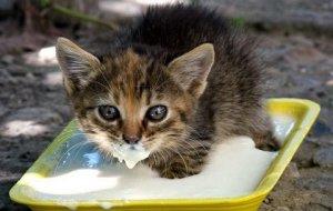 Правила кормления котят: смеси для новорожденных и рацион для малышей от 1 до 3 месяцев