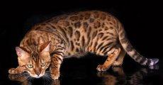 Представители бенгальской породы кошек сочетают дикую внешность с покладистым характером