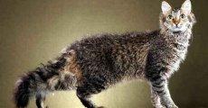 Кошки с перманентной завивкой или лаперм. Кто они?