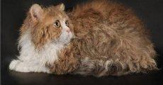 Самые милые и нежные животные – кошки породы Селкирк Рекс!