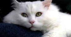 Анемия у кошек: виды, диагностика, терапия