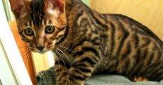 Тойгер – игрушечный тигренок